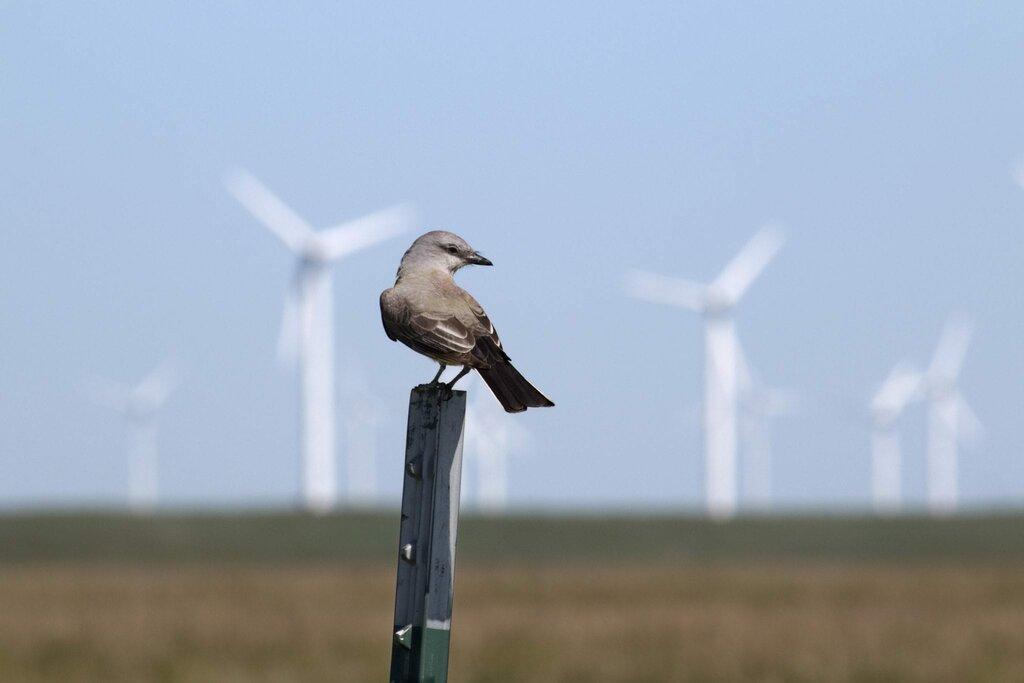 Czy turbiny wiatrowe stanowią zagrożenie dla ptaków?